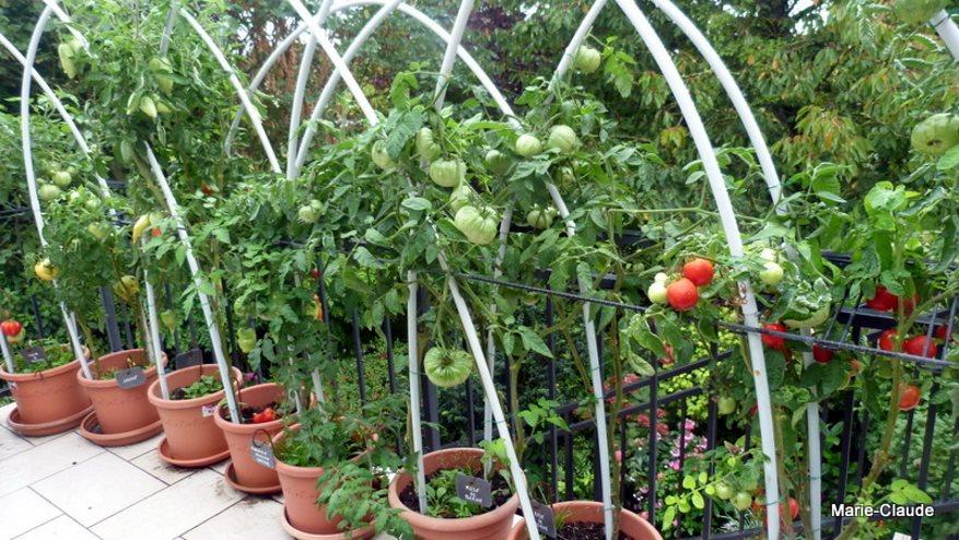 Plant de tomate sur le balcon