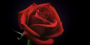La rose éternelle comme outil de décoration